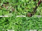Quality Produce Loose Leaf Lettuce Recall [Australia]